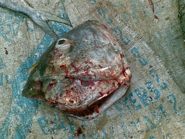 Fish's head