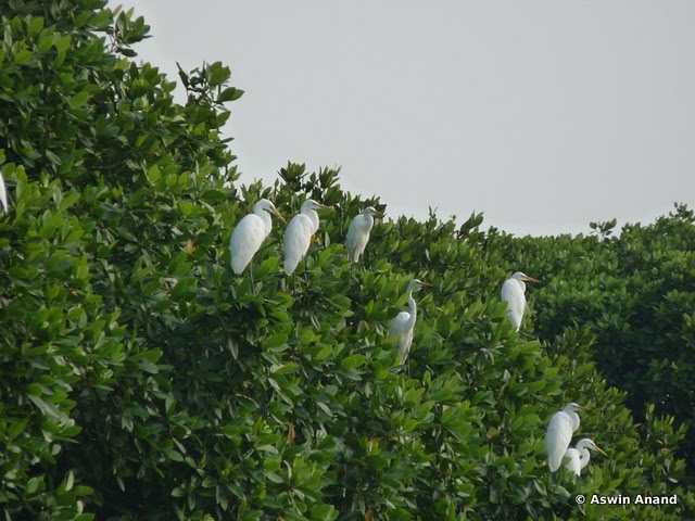 Birds at Pichavaram