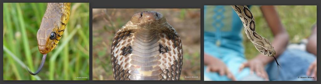 Rat Snake, Cobra, Russell's Viper