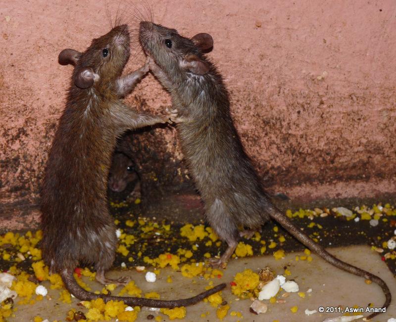 Rats at Karni Mata Temple, Bikaner